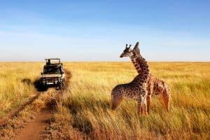 pair of giraffes seen on safari